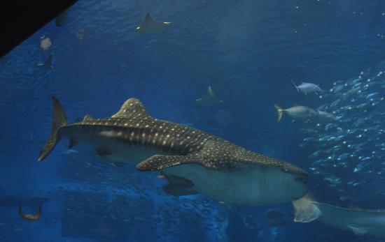 美ら海水族館.ジンベイザメ1