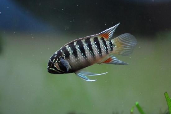 イバナカラアドケタ.トゥッカーノ♂35