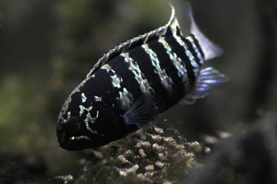 イバナカラアドケタ.トゥッカーノ♀35