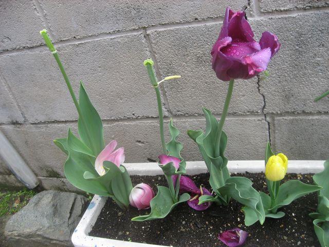 tulip0421.jpg
