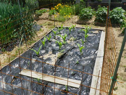 IMGP2937トウモロコシとスイカ畑