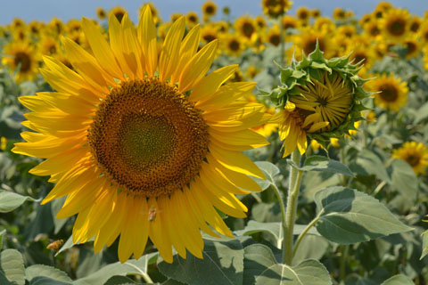 sunflowerfes01.jpg