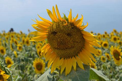sunflowerfes02.jpg