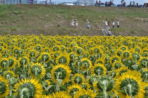sunflowerfes03.jpg