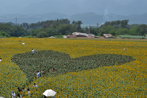 sunflowerfes04.jpg
