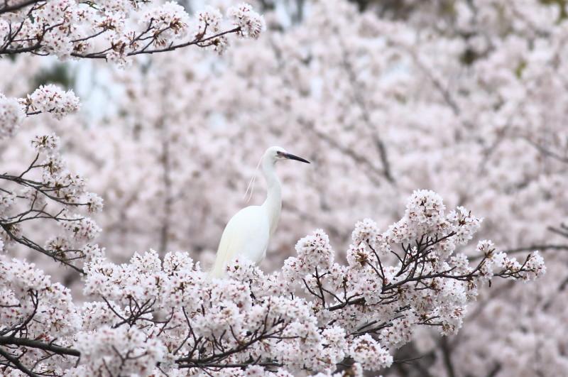 桜コサギ5361_1