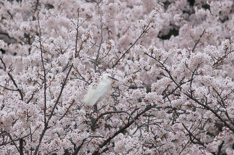 桜コサギ5364_1