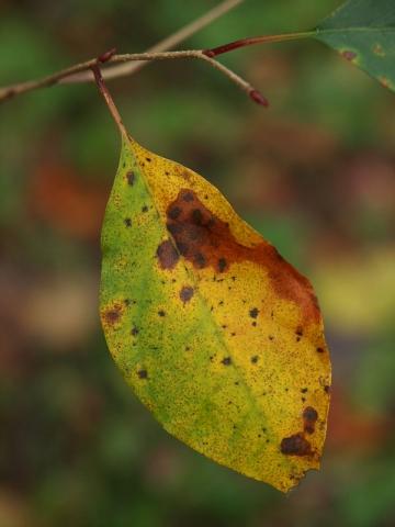 アブラチャン黄葉