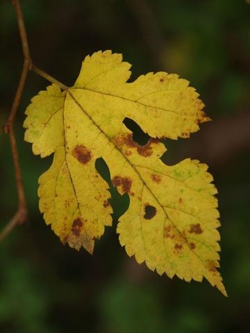 ヤマグワ黄葉