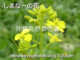 島菜,シマナ,島野菜,沖縄