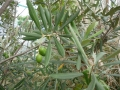 oliiive