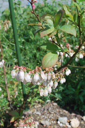 ブルーベリー花