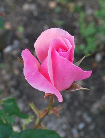 ピンクつぼみ