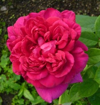 クォーター咲き赤いバラ