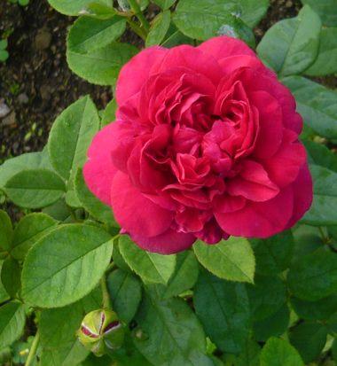 クォーター咲き赤いバラつぼみ葉