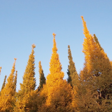 外苑前銀杏並木 いちょう祭 (C)日々是表参道 おもさんぽ 表参道散歩日記ある日の歩記