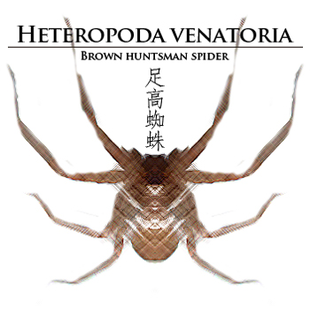 Brown-huntsman-spider.jpg