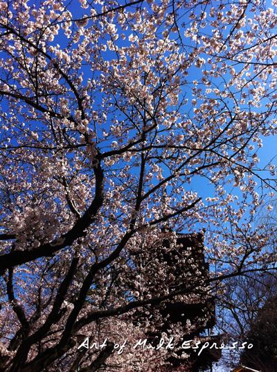 sakurasakura_3.jpg