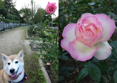 鶴見薔薇園
