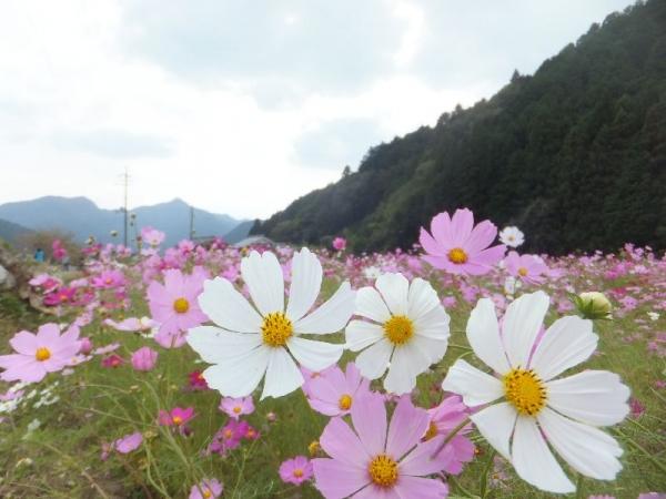KiyozumiCosmos_007_org.jpg