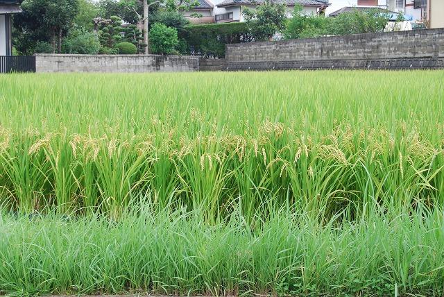 たわわに実った稲