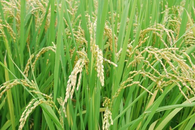 成長した稲