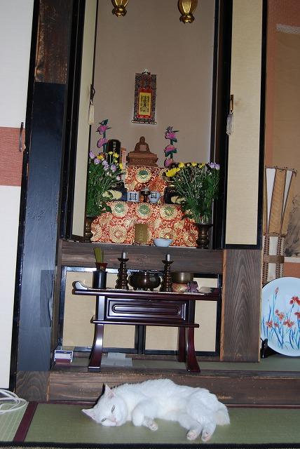 仏壇前でくつろぐあいちゃん
