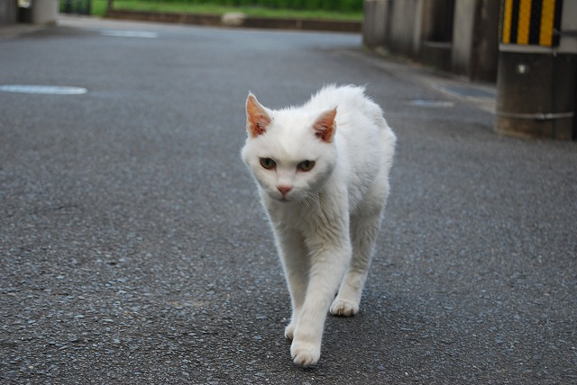 cat walking3
