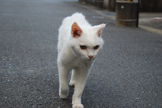 cat walking4