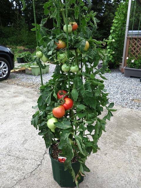 大玉 トマト プランター