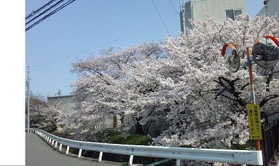 一番好きな場所の桜
