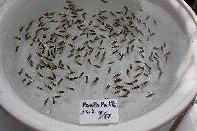 panpapa1号NO.2