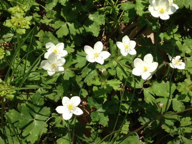 金剛山 白花