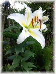 庭の白百合