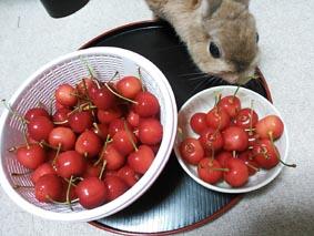 cherry13_6.jpg