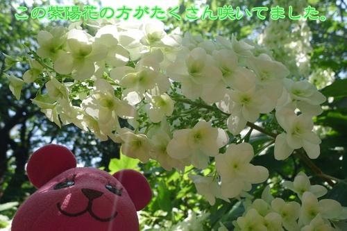 白い紫陽花もかわいいな