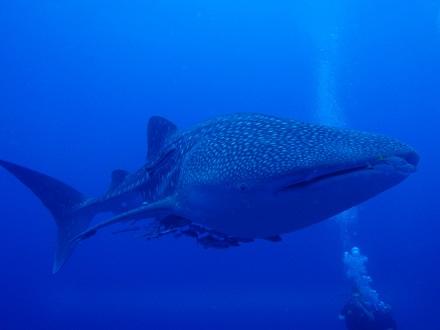タオ島 ダイビング ジンベエ