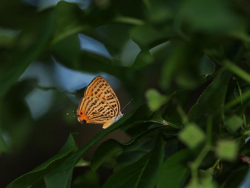 ウラナミアカシジミ:夕方の登場