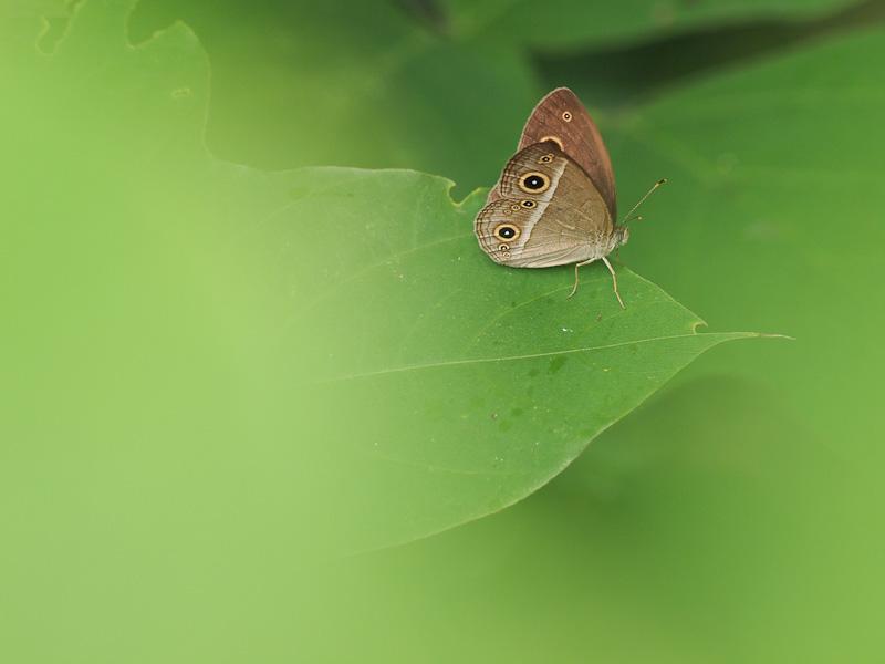 ヒメジャノメ:葉上のV字開翅