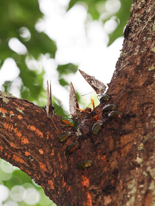オオムラサキ:擦り切れた翅