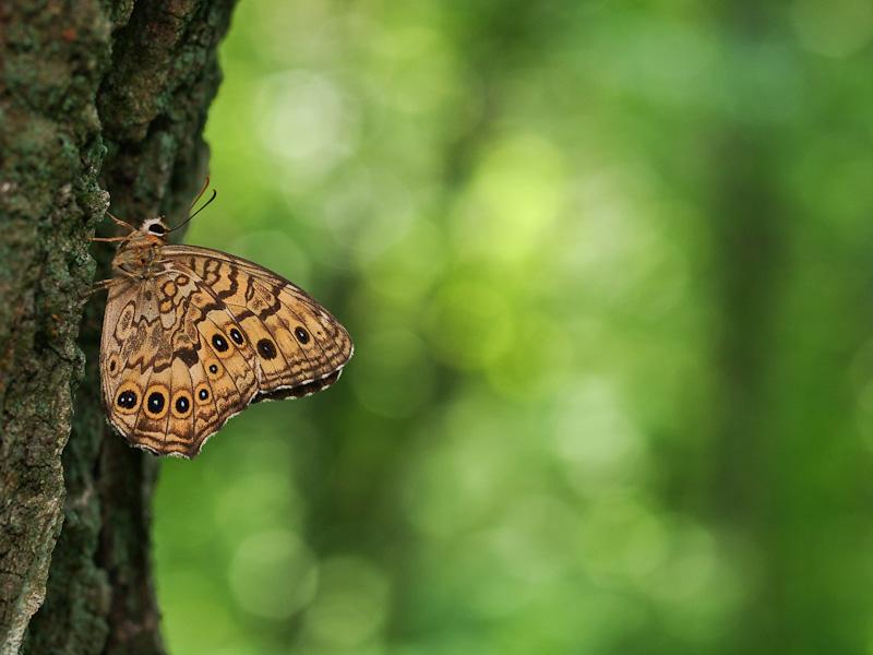 サトキマダラヒカゲ:広葉樹の林内にて