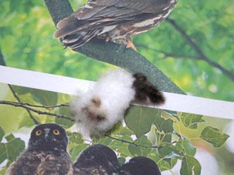 コノハズクの幼鳥のための習作