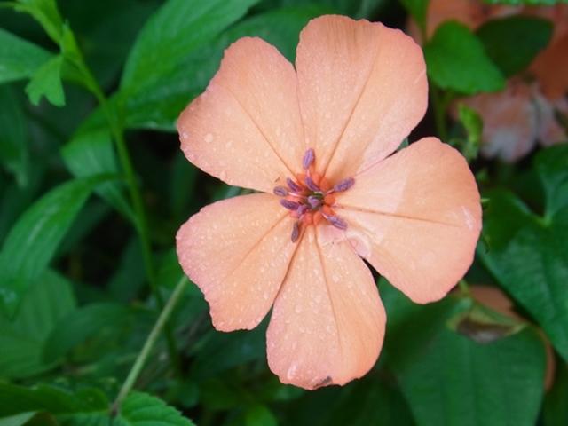 青野山の花005