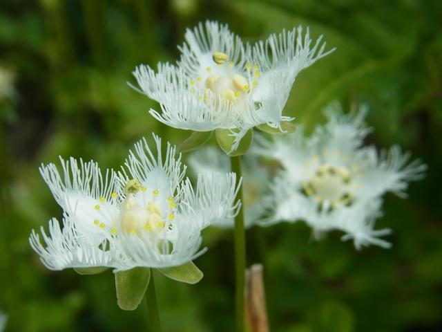 尾崎沼の花008