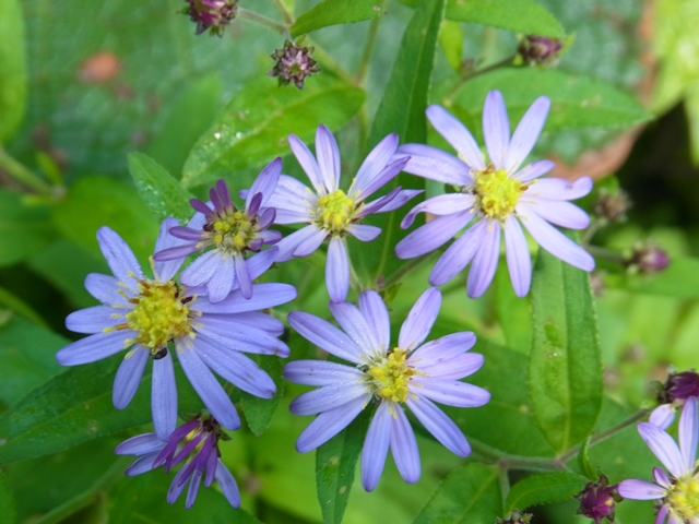 白山の花001
