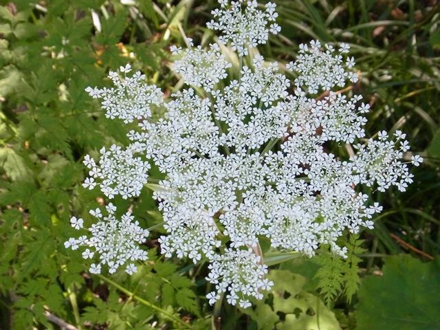 白山の花005