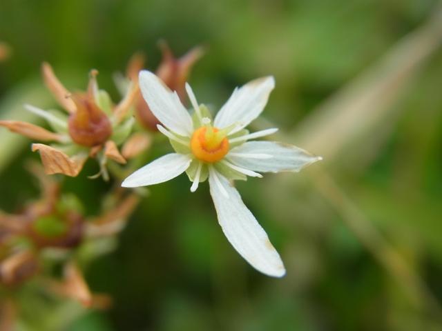 白山の花021