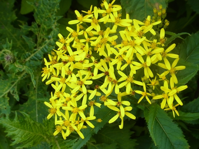 白山の花033