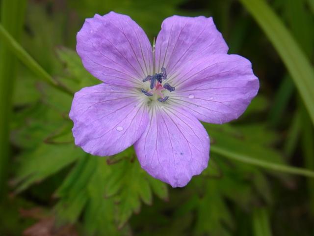 白山の花1004