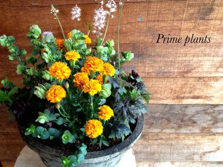 ミニチュアマリーゴールド『モウグリ』のオレンジを使った寄せ植え。 成長してくると、脇にひっそりと植えてある黒ペチュニア『ジュリエット』が茂ってきます。